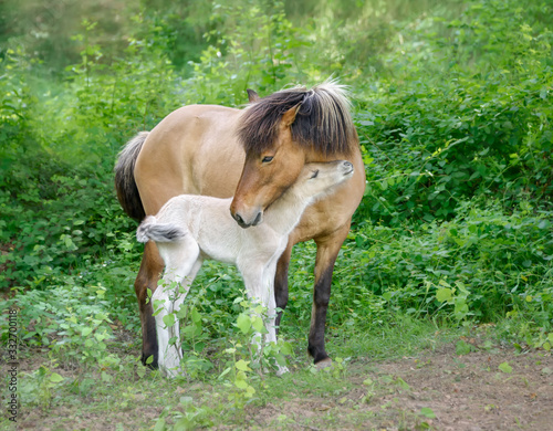 Fotografia, Obraz Icelandic horses, mare with young foal cuddling, the mother carefully turns to h
