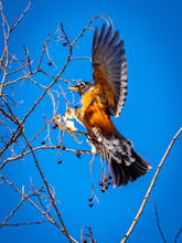Early Spring Robin Sited In Wisconsin. Eating Berries Left On A Hackberry Tree.
