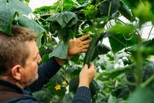 Male Farmer Worker Checking An...