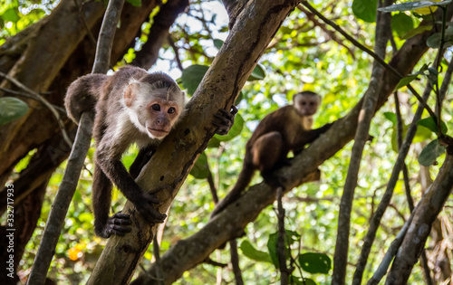 Photo Capuchin monkey in Tayrona Park in Colombia