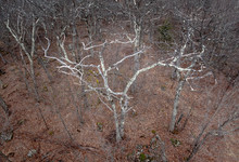 Scraggly White Tree In A Winter Forest
