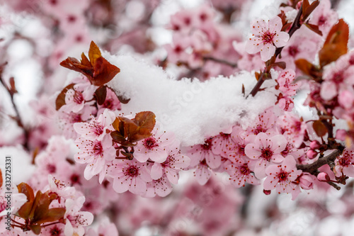 Spring Blossom With Unexpected Snow Canvas Print