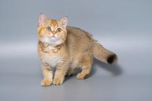 British Shorthair Kitten Cat I...