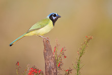 Green Jay (Cyanocorax Luxuosus) Perched, South Texas, USA