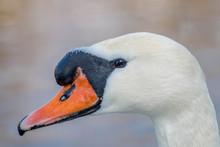 White Swan Head Closeup In Th...