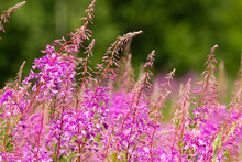 Blooming Fireweed Flowers In The Field