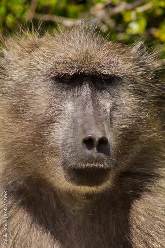 Amazing portrait of a baboon Canvas Print