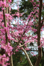 Redbud Tree With Pink Flowers On Branches