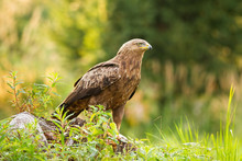 Curious Lesser Spotted Eagle, ...