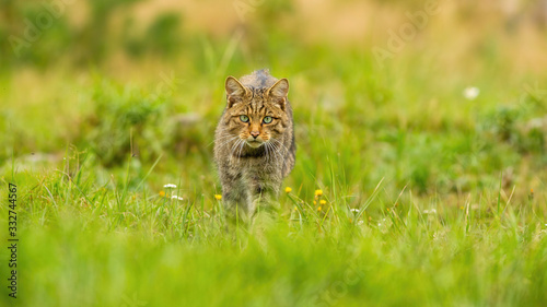 Photo Fierce european wildcat, felis silvestris, hunting on a summer meadow in nature with copy space