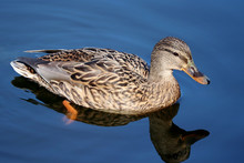 Mallard Duck Swimming In Blue Water. Portrait Of Female Wild Duck With Reflection In The Lake