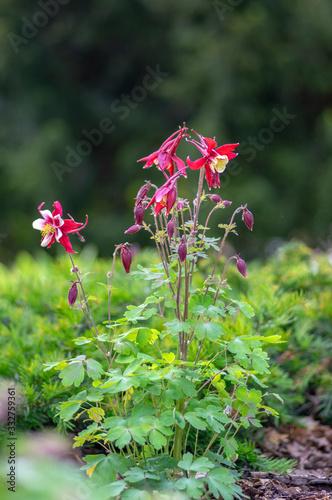 Photo Aquilegia caerulea red white yellow flowering plant, beautiful ornamental herbac