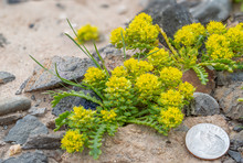 Yellow Pepperweed (Lepidium Fl...