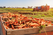 Fresh Harvested Carrots In A P...