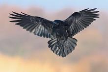 A Black Big Bird Lands On A Me...