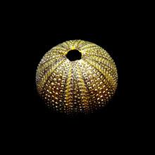 Sea Urchin, Echinus Shell