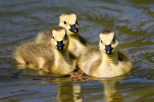Adorable Newborn Goslings Lear...