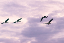 Flock Of Canada Geese Flying During Blue Hour