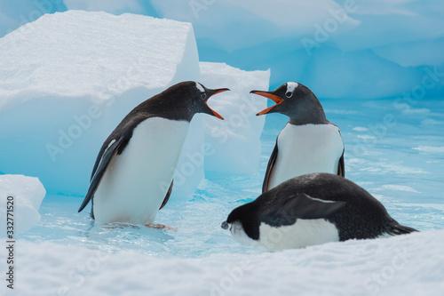 Fototapeta Gentoo Penguins on the ice
