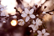 Branch With White Flowers And ...