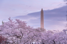 Cherry Blossom At Tidal Basin In Washington DC With The Washington Monument In The Background At Sunrise