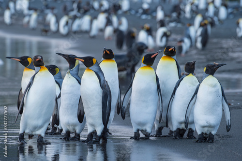Obraz King Penguins colony Gold Harbour - fototapety do salonu