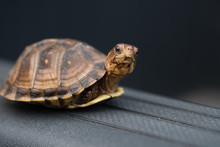 A Closeup Of A Baby Box Turtle