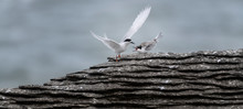 Active Tern Of The White-front...