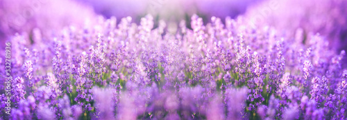 Fototapeta Panoramic purple lavender flowers blooming. Concept of beauty, aroma and aromatherapy obraz