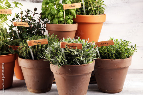 Homegrown and aromatic herbs in old clay pots. Set of culinary herbs. Green growing sage, oregano, thyme, savory, mint and oregano with lavender with labels