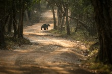 Close Up,wild Sloth Bear, Melu...