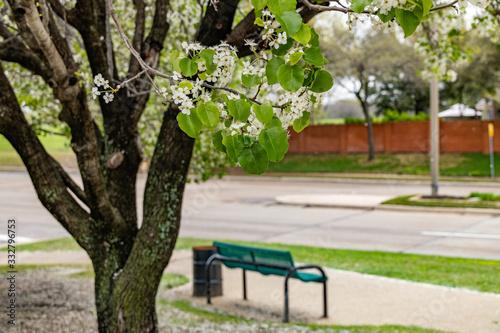 Green park bench under a cherry blossom tree