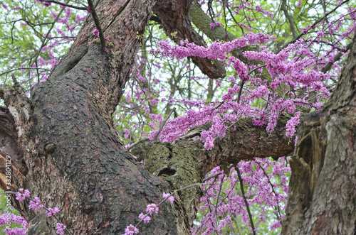 Vászonkép Gnarled Trunk of a Mature Eastern Redbud Tree  with Purple Flowers in Spring