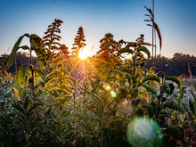 Goldenrod Sunrise