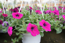 Petunia Flowers Are Planted In...