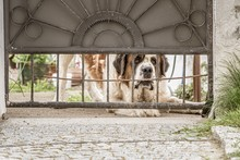 Sad Looking St. Bernard Dog Peeping Through The Gate And Wanting To Get Out