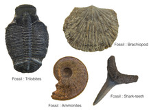 Fossils Specimens, Four Fossil...