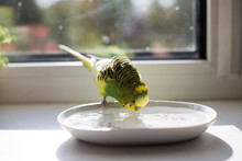 Bathing Of A Budgie