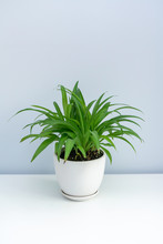 A Pot Of Chlorophytum On The W...