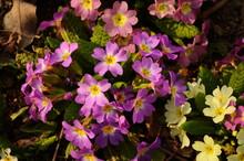 Primula, Or Primrose Bloom In ...