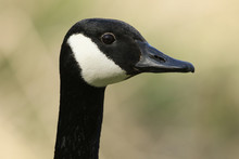A Head Shot Of A Stunning Canada Goose, Branta Canadensis, Standing On The Bank Of A Lake.