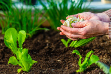 The Gardener Plants Garlic In ...