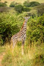Masai Giraffe Calf Stands In Tall Grass