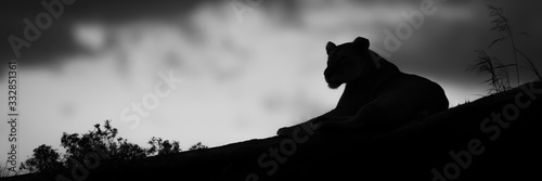 Mono panorama of lioness silhouette near bushes Canvas Print