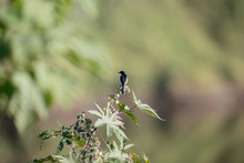 Background Of Jerdon's Bush Chat (Saxicola Jerdoni), Angle View, Rear Shot, In The Morning Under The Clear Sky Perching On The Stalk Of Grass Flower In Montane Forest, Northern Of Thailand.