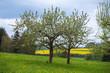 Blühende Apfelbäume und ein Rapsfeld im Hintergrund