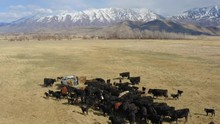 Scenic Aerial View Of A Rancher Unloading Hay Off The Back Of His Flatbed Truck Into A Field For His Herd Of Cows, Following Shot