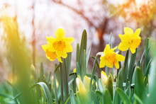The Yellow Daffodil (Narcissus...