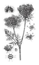 Wild Carrot (Daucus Carota) / Vintage Illustration From Brockhaus Konversations-Lexikon 1908