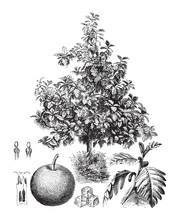 Breadfruit (Artocarpus Altilis...